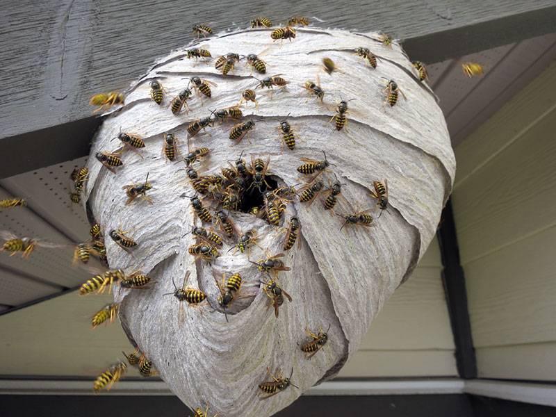 Как избавиться от осиного гнезда в доме: что делать с осиным гнездом
