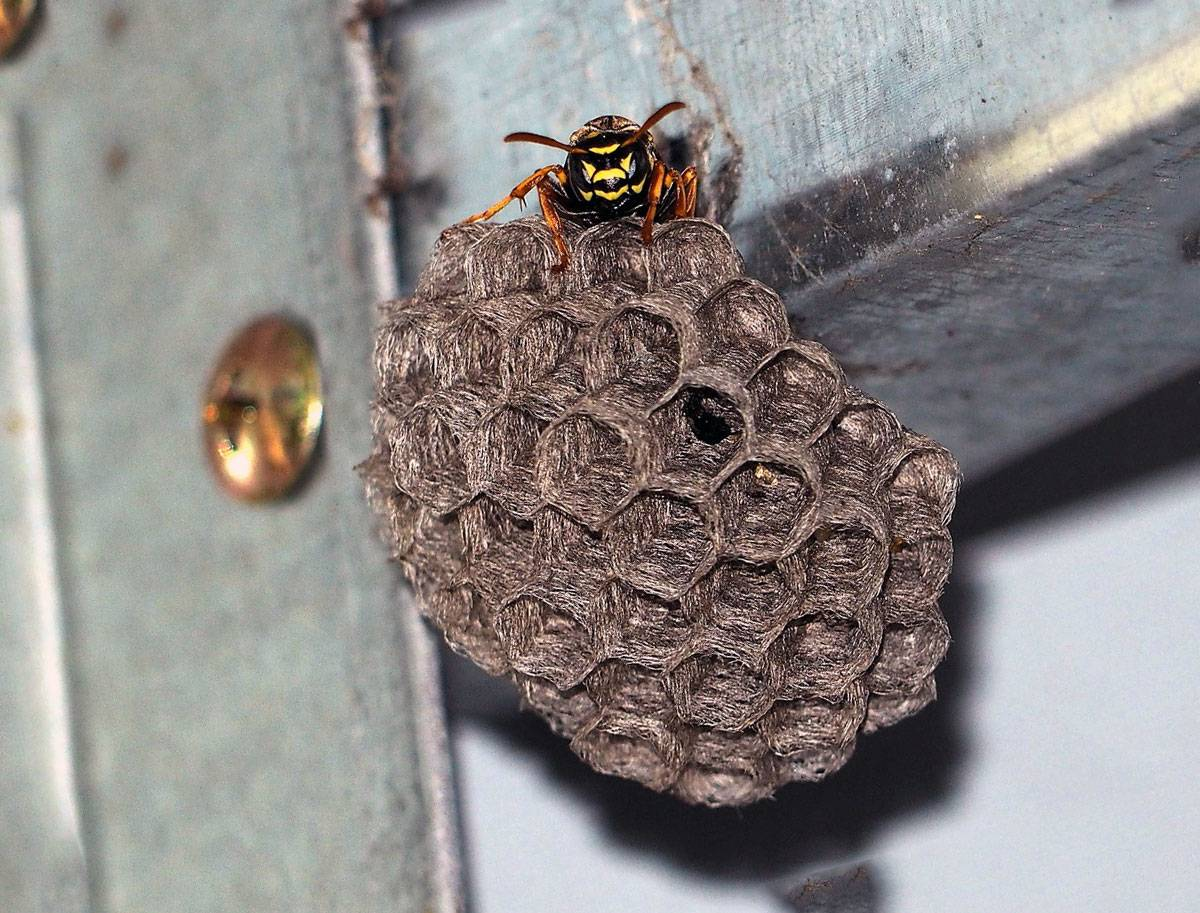 Как уничтожить осиное гнездо даже в труднодоступном месте