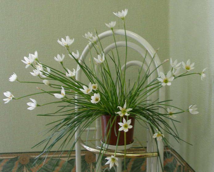 Приметы и суеверия про комнатный плющ