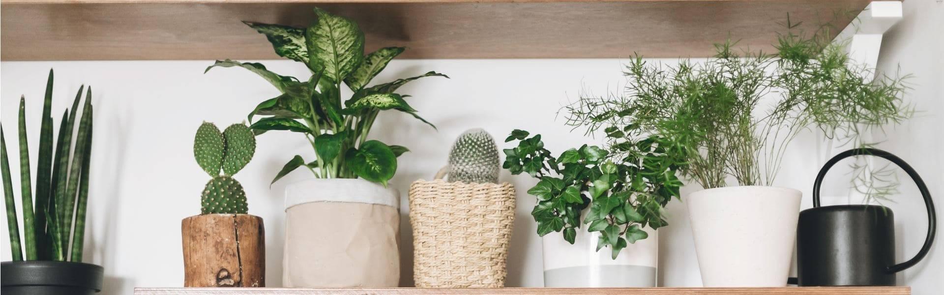 Фиалки в доме: хорошо или плохо, приметы и суеверия, можно ли держать