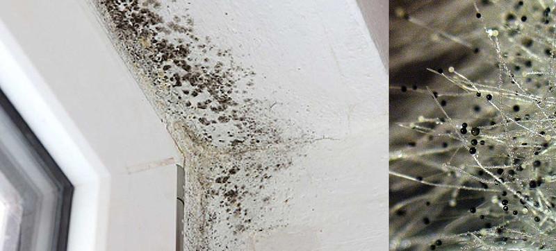 Вред и опасность черной плесени в доме для человека