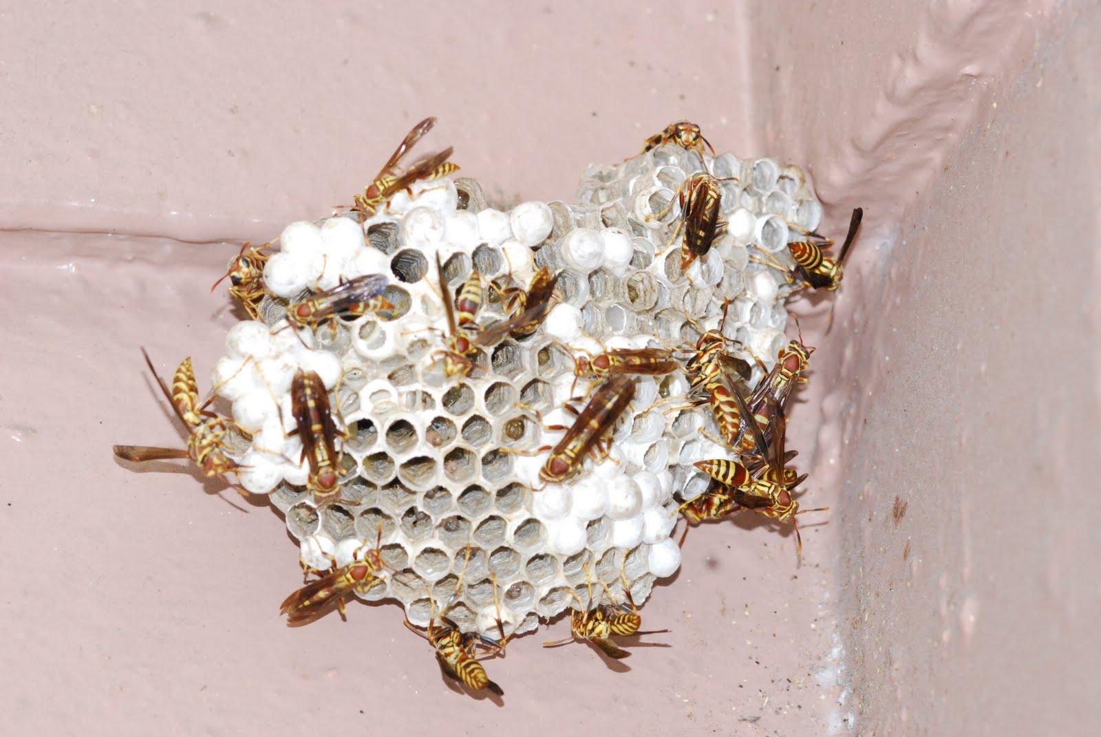 Как убрать осиное гнездо: способы и методы уничтожения улья