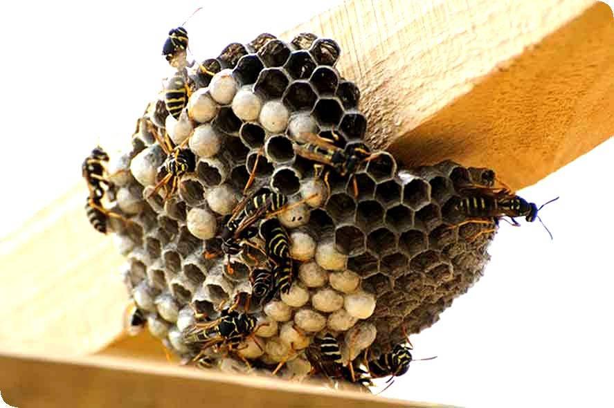 Об осином гнезде: из чего осы делают улей и как найти, сколько их живет внутри