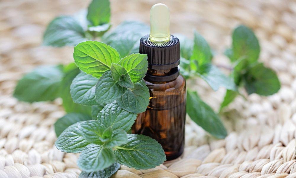 Как выращивать домашнюю мяту: полезные свойства комнатного растения