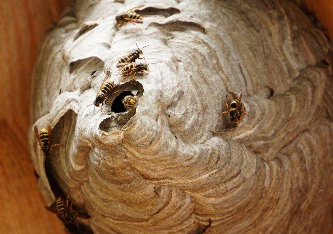 Как избавиться от ос, найти и уничтожить осиное гнездо
