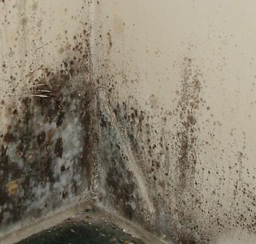 Черная плесень в доме - чем опасна? - medical insider