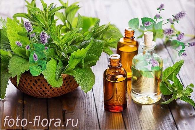 Комнатная мята - многофункциональное домашнее растение