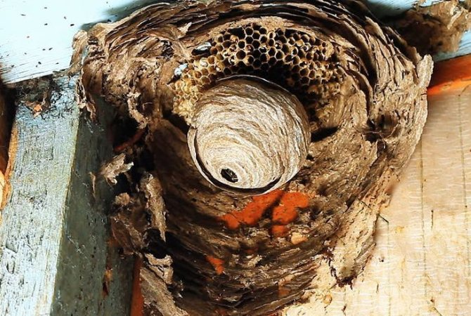 Как избавиться от осиного гнезда на даче - народные способы и средства