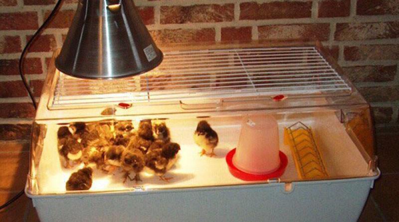 Лампа обогрева для цыплят: оборудование брудера своими руками