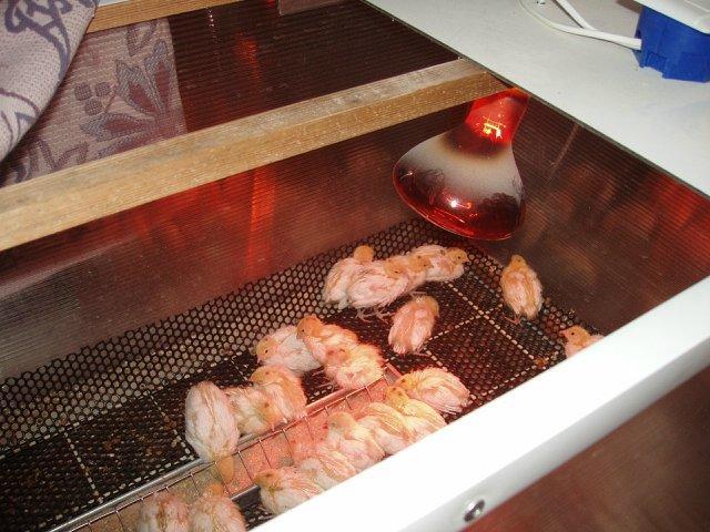 Лампа инфракрасная для обогрева курятника в зимнее время: преимущества использования и правила размещения