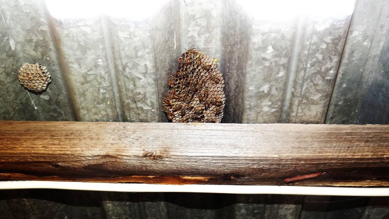 Как убрать осиное гнездо на даче
