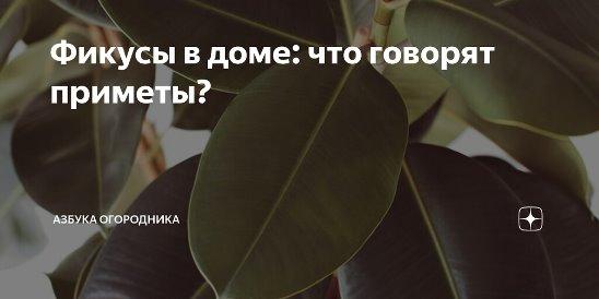 Комнатное растение фикус ядовито или нет?